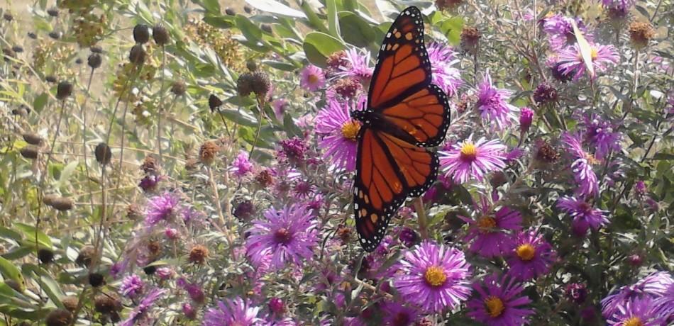 Butterfly in Church Rain Garden